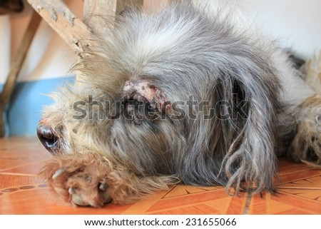 Dermatitis for animal - Sick Dog