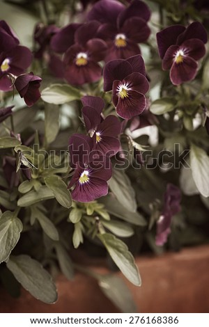 Desaturated small viola pansies, close up during spring - stock photo
