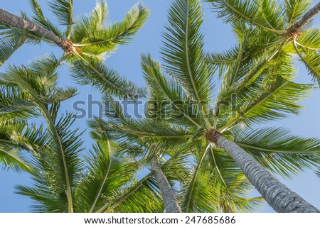 Description:  Brisk trade winds moving through a palm tree grove in Honolulu. Title:  Trade Winds and Palm Trees.