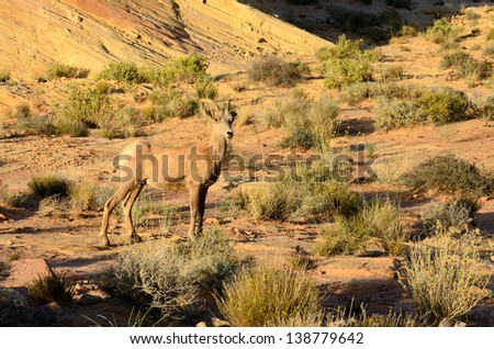 Desert Bighorn Sheep, Ovis canadensis, ewe in the Valley of Fire State Park near Las Vegas Nevada - stock photo