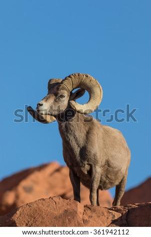 Desert Bighorn Sheep Ram - stock photo