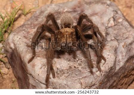 Desert Blonde Tarantula (Aphonopelma Chalcodes) on a rock - stock photo