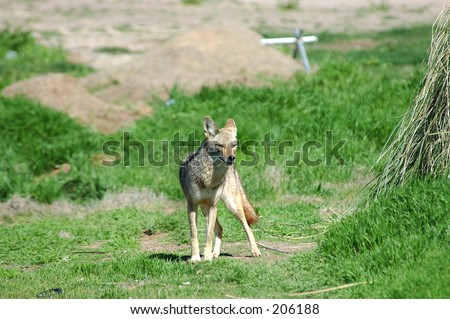 Desert Coyote photographed on a Las Vegas Nevada golf course, part of the Urban Wildlife Collection - stock photo