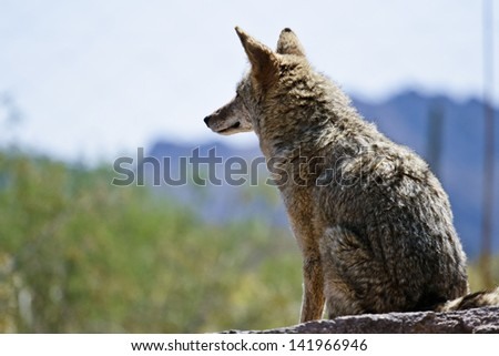 Desert Coyote Scanning the Terrain in front of him - stock photo