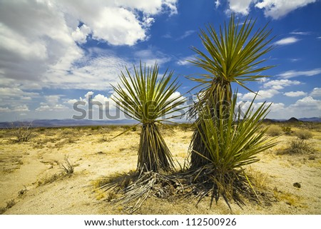 desert fan palm in Joshua tree national park in the USA