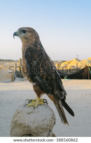 Desert hawk - stock photo