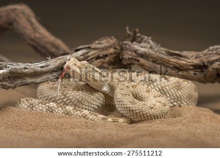 Desert horned viper (Cerastes gasperettii) - stock photo