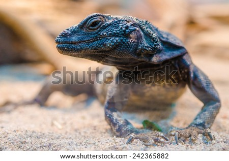 Desert Iguana Closeup. ( Dipsosaurus Dorsalis ). Common Lizards of the Sonoran and Mojave Desert. - stock photo