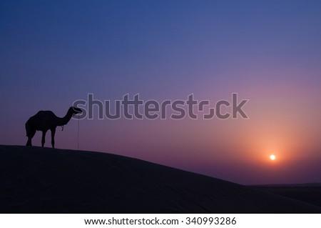 Desert landscape with camel at sunset in India desert. - stock photo