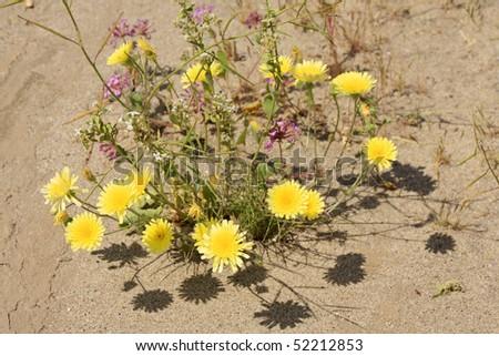 Desert Marigold - Baileya multiradiata in the Anza Borrego desert - stock photo