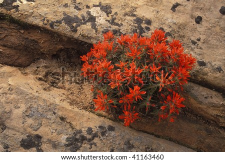 Desert Paintbrush blooming in Navajo Sandstone in the American Southwest - stock photo