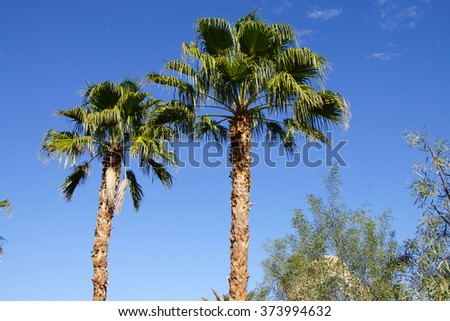 Desert palm tree with green fronds against bright blue sky,  Rancho Mirage, California - stock photo