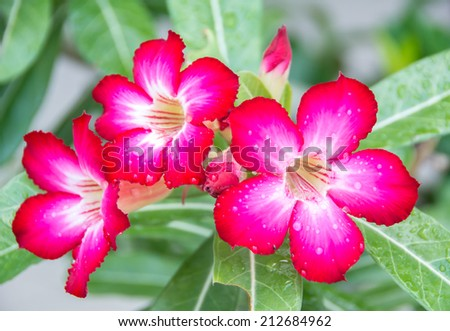 Desert rose, Azalea flowers with water drops