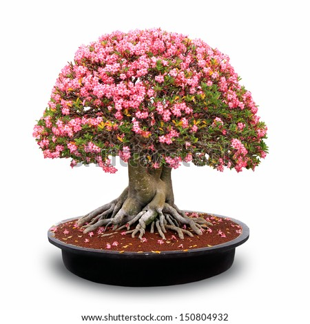 desert rose flower bonsai in flower pot - stock photo