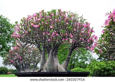 desert rose flower bonsai in flower pot. - stock photo