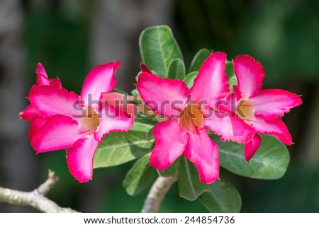 Desert Rose Flower, Plants with beautiful colorful flowers.  - stock photo
