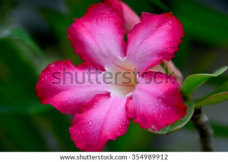 Desert Rose, Flower, Soft Focus, Water Droplets, Closeup and Soft Focus, Water Droplets on Petal Flower