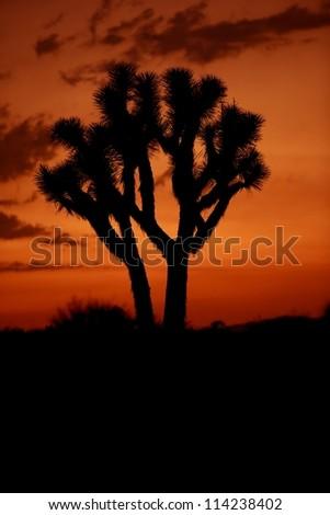 Desert Sunset - Joshua Trees. Mojave Desert, California, U.S.A. Desert Photo Collection. - stock photo