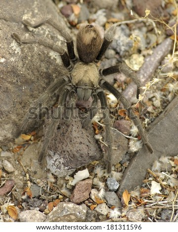 Desert Tarantula (Aphonopelma chalcodes). Photo taken in Death Valley National Park, California, USA.