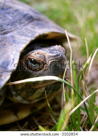 desert tortoise staring intently at the viewer - scientific name Gopherus [Xerobates] agassizii - stock photo