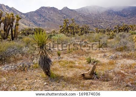 Desert vegetation in Kern County, California, USA - stock photo