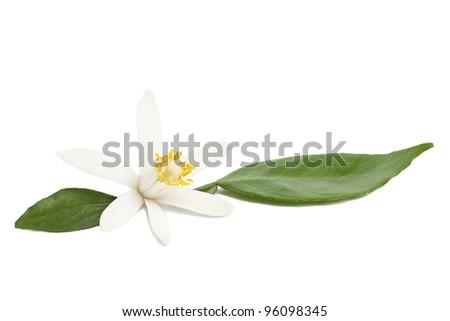 Design element on white. Tropical lemon flower blossom with green leaves on white background - stock photo