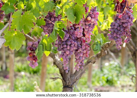 """Dessert Grape, ripe and ready for harvest. Variety """"uva Italia"""". Natural light, picture taken in september in Sicily, near the town of Agrigento.  - stock photo"""
