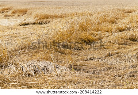 destroyed wheat  - stock photo