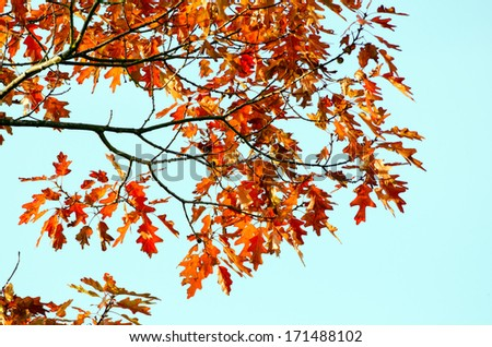 Detail deciduous maple tree with multicolored autumnal leafy tree-top.