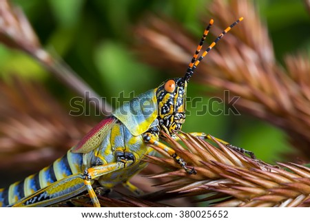 detail macro view of a grasshopper on a brown grass husk against a mottled brown and green foliage background - stock photo