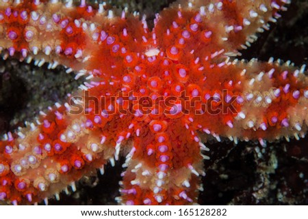 Detail of a brilliantly colored seastar crawling along the bottom of Monterey Bay, California. This bay harbors healthy kelp forests and a diverse array of temperate Pacific marine life. - stock photo