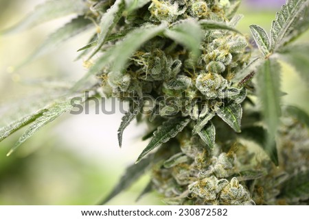 Detail of a Cannabis plant. Lemon OG marijuana strain. Huge indoor flower-head - stock photo