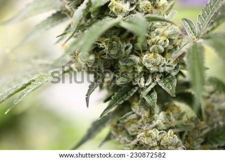 how to get marijuana plants huge