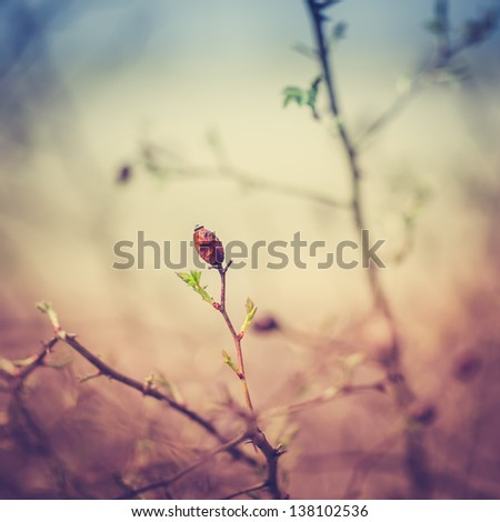 Detail of a Dry Wild Rose Hip at Spring with Vintage  Background - stock photo