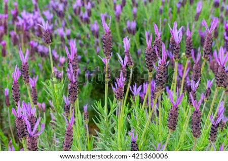Detail of a field of lavender plants