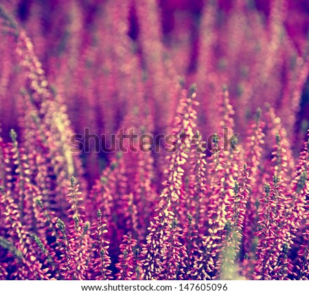 Detail of a flowering heather plant in the garden. - stock photo