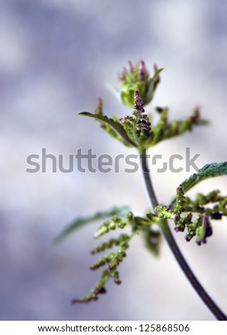 Detail of a flowering  stinging nettle plant. - stock photo