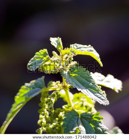 Detail of a flowering wild growing stinging nettle plant with seed-pots and buds, used in traditional medicine as a medical ingredient.  - stock photo