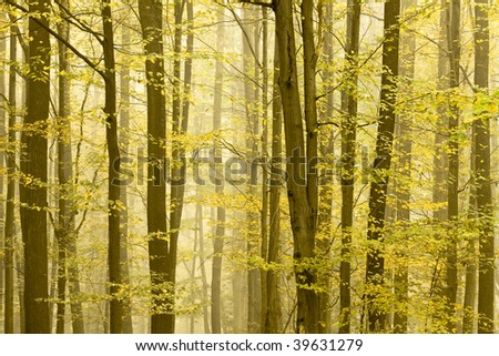 Detail of a forest in autumn. Trees is quickly disappearing in the fog.