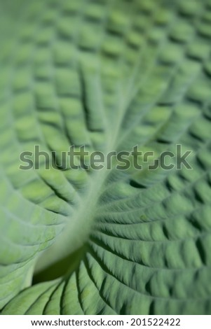 Detail of a green Hosta leaf - stock photo