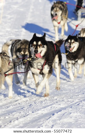 Detail of a member of a sled dog team in full action. - stock photo