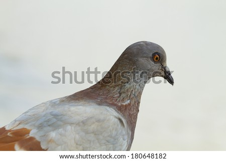 Detail of a pigeon head close-up - stock photo