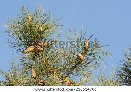 Detail of a pine tree with ripe pine cones. - stock photo