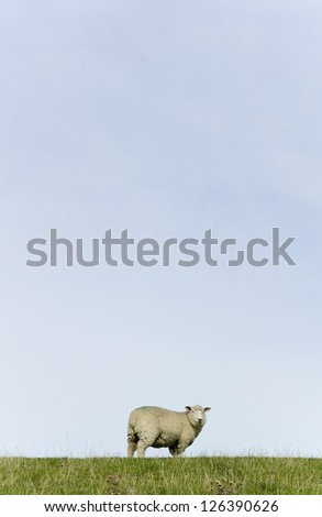 Detail of a sheep grazing on a dike. - stock photo