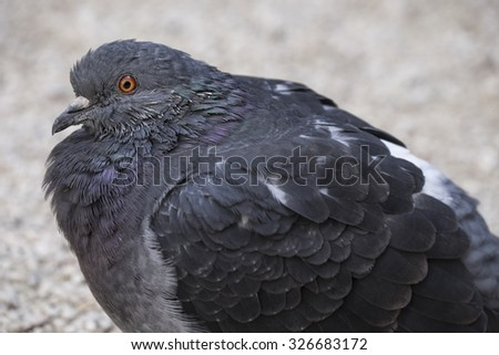 Detail of a sitting pigeon - stock photo