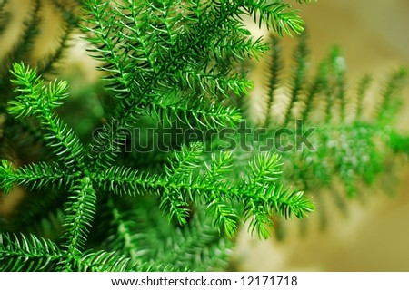 Detail of a small indoor pine tree