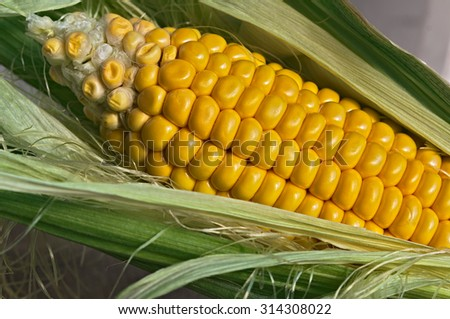 detail of a yellow corn cob
