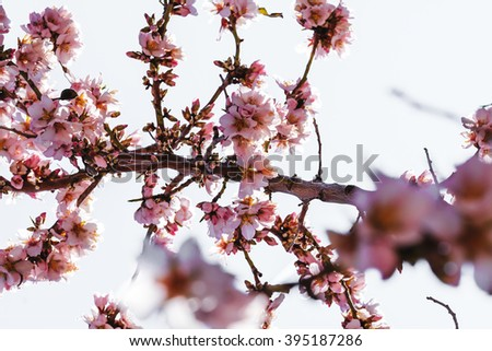 Detail of Almond tree