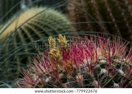 Detail of an blooming Cactus