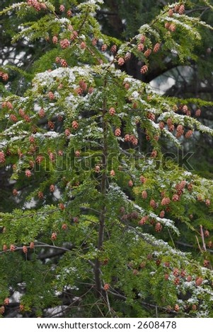 Detail of an Eastern Hemlock tree with a dusting of snow - stock photo